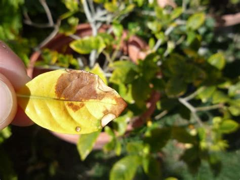 Gardenia Brown Leaves My Gardenia Turning Brown Causes Solutions