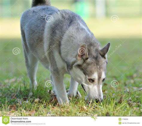 sniffing royalty free stock photo image 7799295