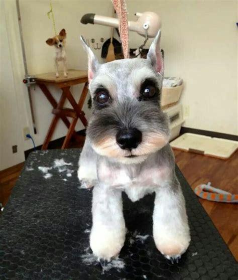 asian style schaunzer hair trim japanese style dog grooming schnauzer schnauzers