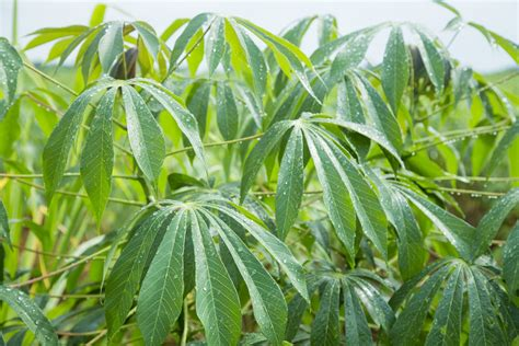 The Future Of Farming: Phone Powered AI Detects Diseases In Cassava Plant With Incredible