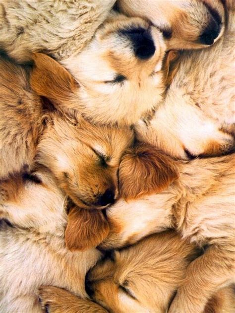puppy pile golden retriever puppy pile