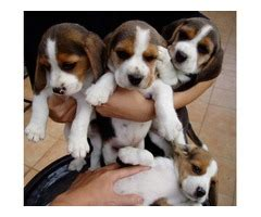 puppies for sale charleston wv stunning beagle puppies for sale animals charleston west virginia announcement