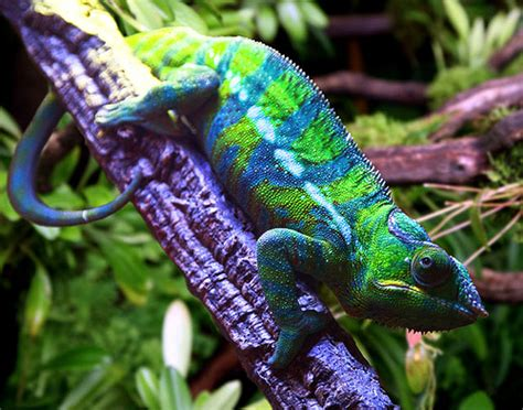 Stars Homes jacksons chameleon flickr photo sharing