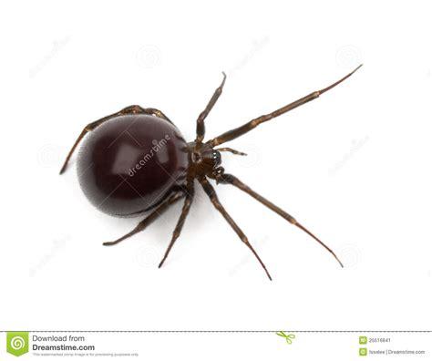 common house spider common house spider parasteatoda tepidariorum stock image image 25516841