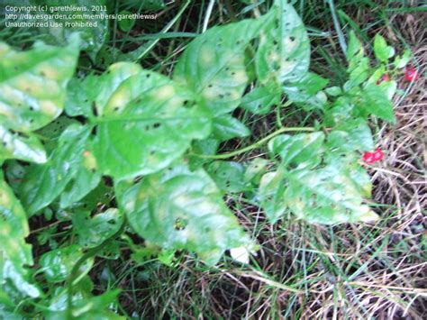 poisonous backyard plants plant identification weed with red berries in backyard