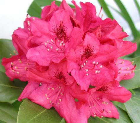 state flower of virginia wv state rhododendron west virginia state flower west virgina pinterest my mom