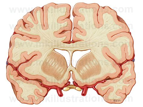frontal section of brain mkillustrations medical illustrations