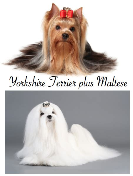 yorkie vomiting blood morkies are special