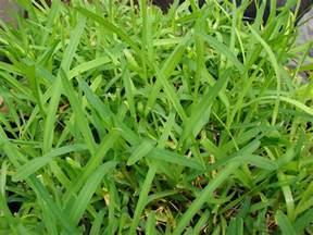 grass types that thrive in granbury tx lawns lawnstarter