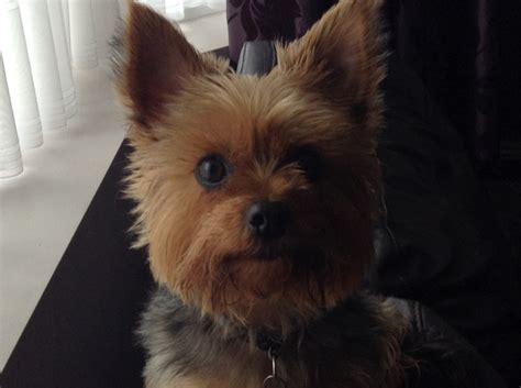 wanted yorkie puppy wanted terrier stud bournemouth dorset pets4homes