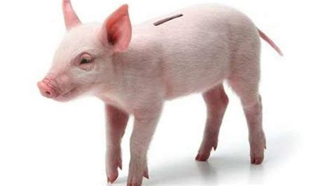 the real com why get a piggy bank when you can get the real pig