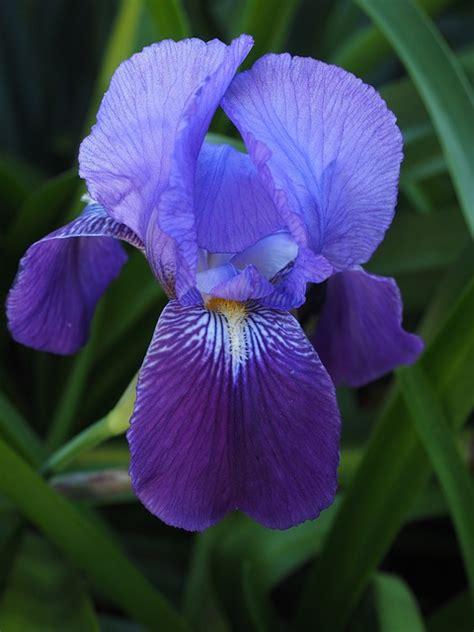 iris fiore free photo iris flower blossom bloom free