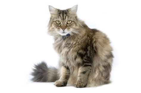 Top 23 Family Friendly Cat Breeds   CatTime