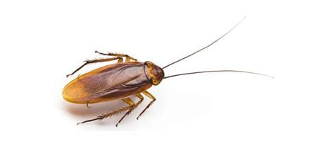 Help My Apartment Has Cockroaches The Right Advice For Cockroach