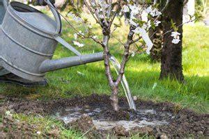 Obstb Ume Pflanzen Wann 4054 by Obstb 228 Ume D 252 Ngen Gartentipps Tipps F 252 R Deinen Garten
