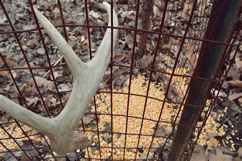 Deer Shed Trap why you shouldn t use shed antler traps bone collector