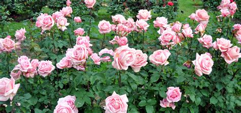 rose growing amp care how to articles fertilize roses