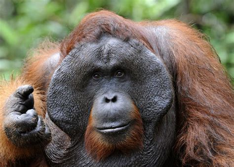 orangutan facts history useful information and amazing
