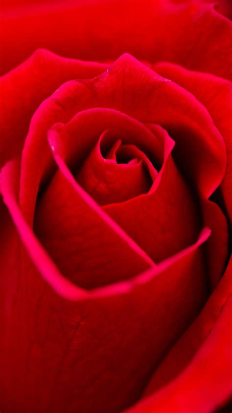 wallpaper android rose beautiful red rose flower closeup android wallpaper free