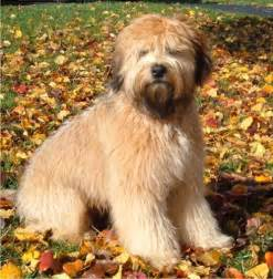 Soft coated wheaten terrier pets world