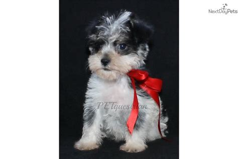 puppies for sale in grand forks nd schnauzer miniature puppy for sale near grand forks dakota b57a3d3a 2121