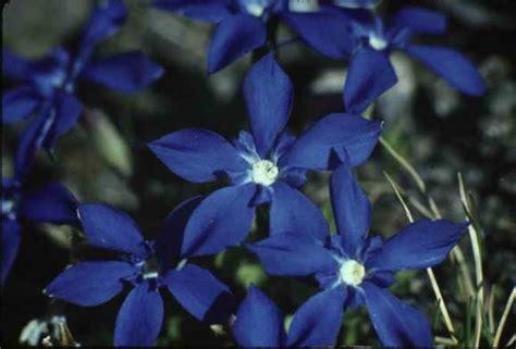 fiori di bach depressione 187 fiori di bach gentian depressione acqua di luce