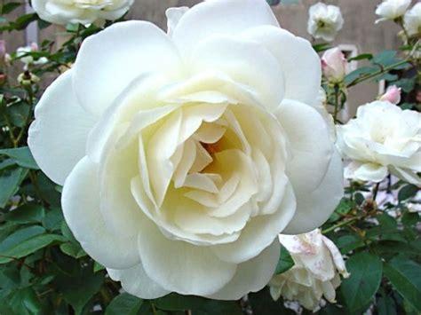 imagen de una hermosa rosa blanca para whatsapp el significado de la rosa blanca para el papa francisco