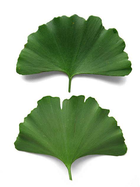 ginkgo biloba maidenhair tree leaves flickr photo