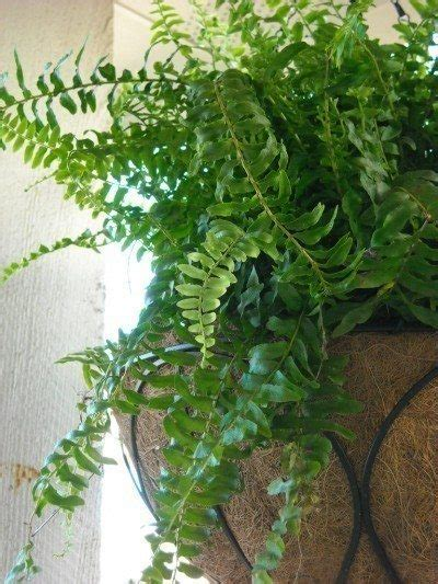 care  fern plants   home