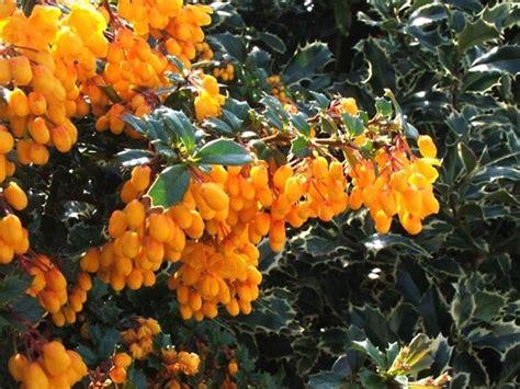 piante da siepe con fiori piante da siepi sempreverdi siepi siepi sempreverdi