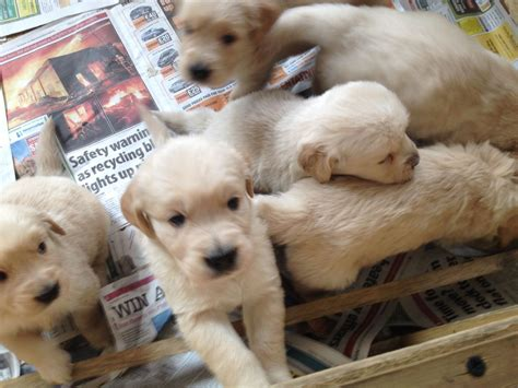looking for a golden retriever puppy to adopt golden retriever puppies for adoption breeds picture
