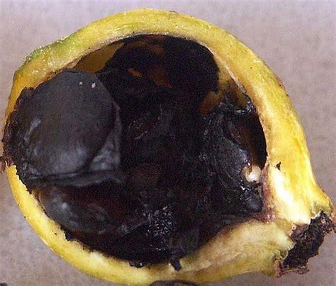 Custom Fruit Buah Tambah Nama tanaman blackberry jam fruit de rosa bibitbunga