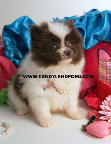 pomeranian for sale houston pomeranian teacup puppies for sale in houston breeds picture