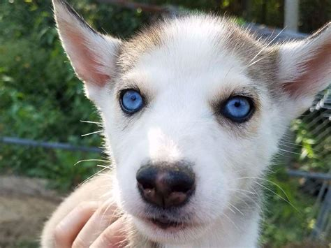 siberian husky puppies for sale in ohio ohio siberian husky siberian husky puppies for sale
