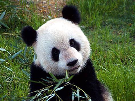 www panda bao bao panda precious treasure for biofuel endangered