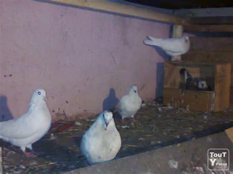 Pigeon 2 Pa tr 233 s bon pigeon et colombe de qualiter a ne pa rater bruxelles 1000