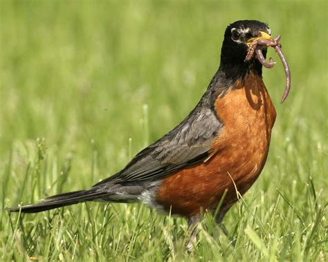 what do american robin bird eat american robin audubon field guide
