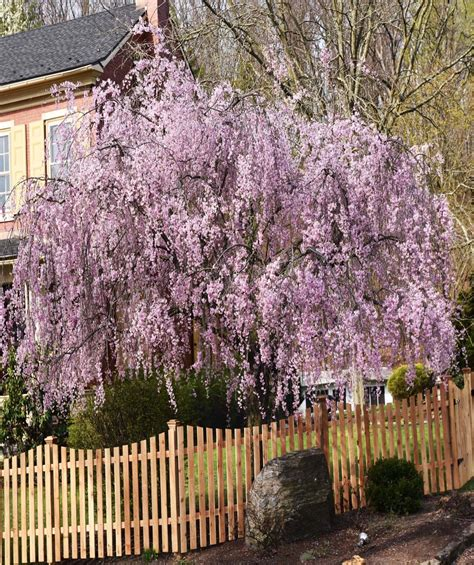 8 cherry trees lower stondon weeping flowering cherry low form
