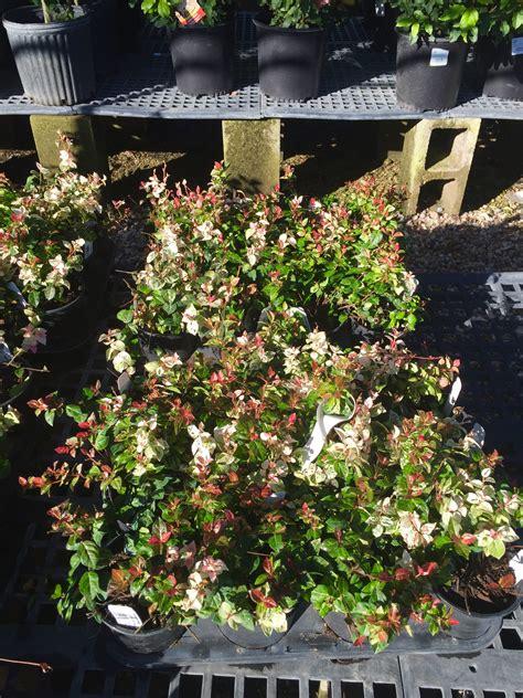 snow  summer asiatic jasmine shades  texas nursery
