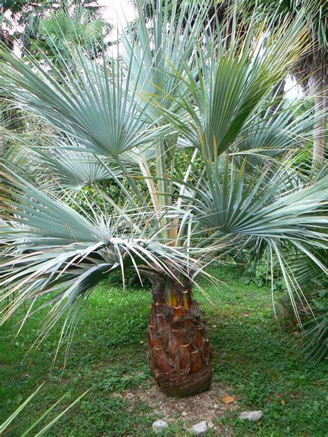 gray goddess blue hesper palm brahea armata