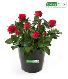 Rose Flowering Plant - red rose plant buy beautiful red rose plants from leading online plant nursery