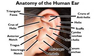 but true ear anatomy and piercing names bodycandy