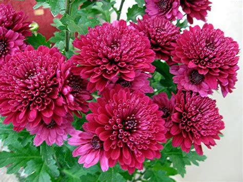 Chrisant Flower chrysant flower flower inspiration