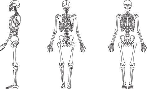 colocar cadenas gorila resultado de imagem para esqueleto humano corpo desenho