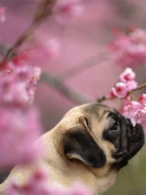 help my pug stinks 17 best images about pugs pugs pugs on a pug pug and brindle pug