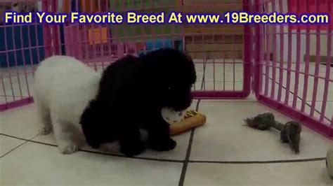 puppies for sale newport news va poodle puppies dogs for sale in norfolk county virginia va 19breeders
