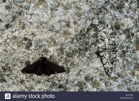 Peppered Moth peppered moth melanistic normal form on pale background