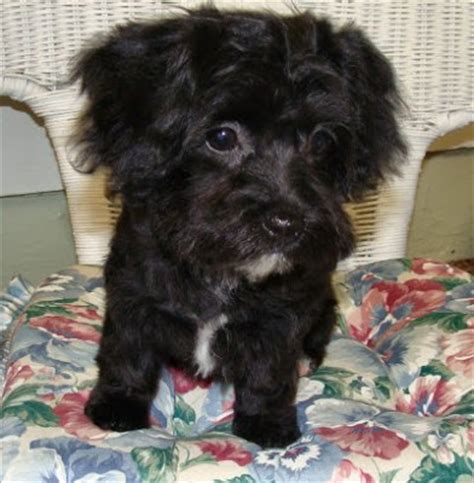 yorkie poodle mix puppies yorkie poodle mix puppies breeds picture
