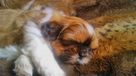 kennel club shih tzu kennel club shih tzu boys whitley bay tyne and wear pets4homes