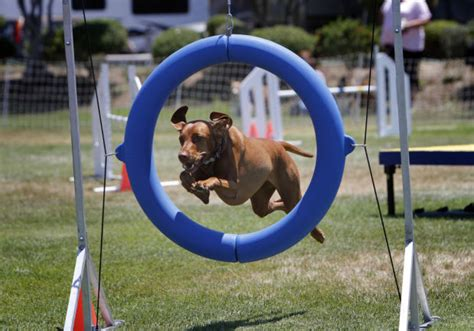 how to a for agility trials kennel club hosting agility trials in santa